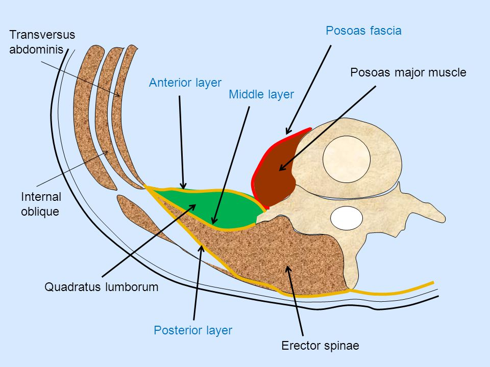 Posoas fascia Transversus abdominis. Posoas major muscle. Anterior layer. Middle layer. Internal oblique.