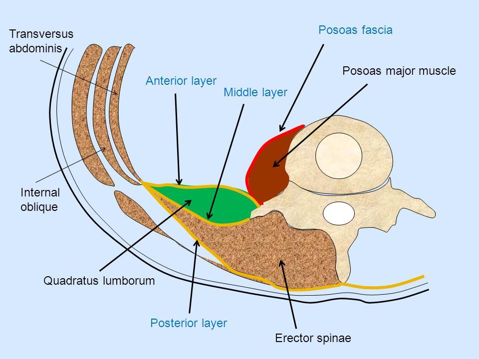 Posoas fascia Transversus abdominis. Posoas major muscle. Anterior layer. Middle layer. Internal oblique.