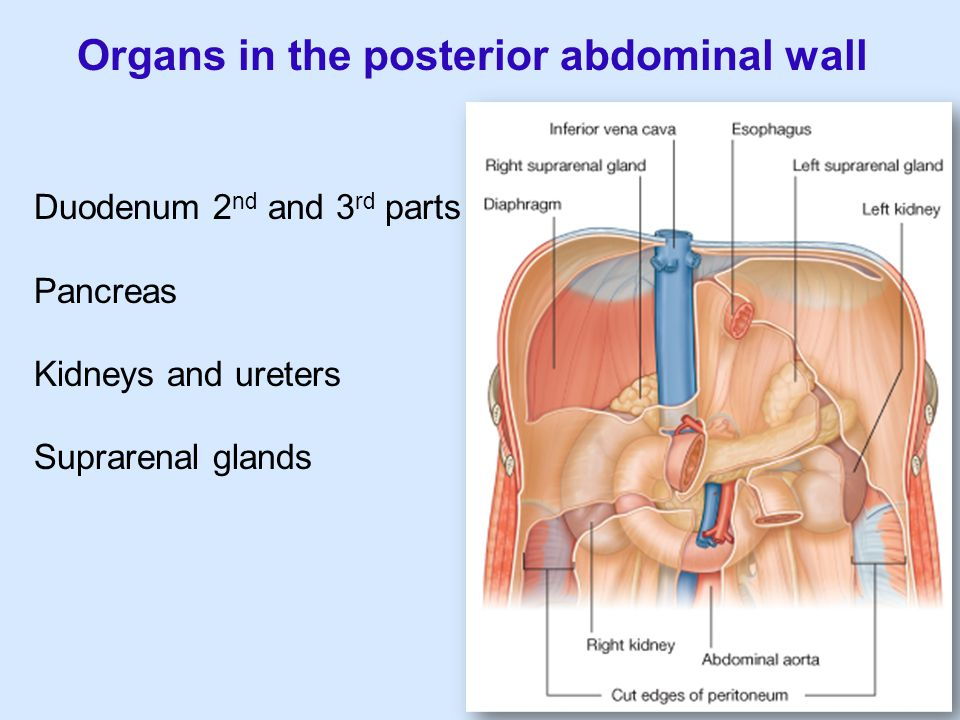 Organs in the posterior abdominal wall