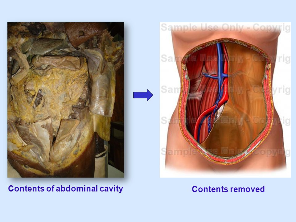 Contents of abdominal cavity