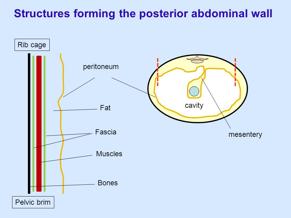 Structures forming the posterior abdominal wall