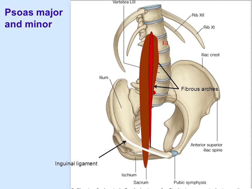 Psoas major and minor Fibrous arches L1 Inguinal ligament