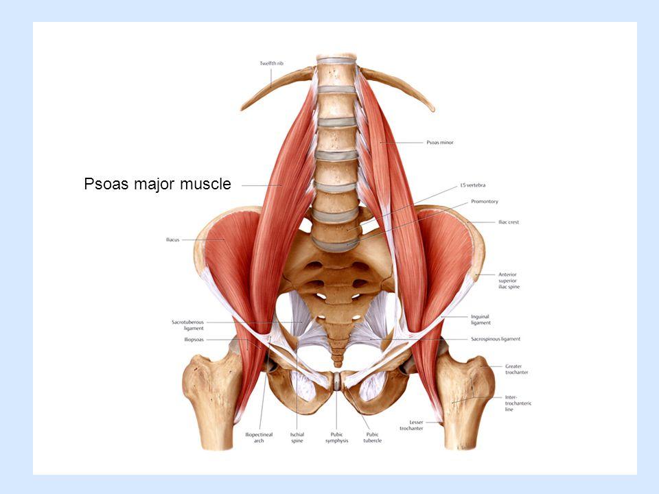 Psoas major muscle