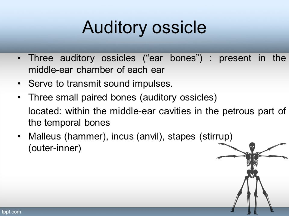 Auditory ossicle Three auditory ossicles ( ear bones ) : present in the middle-ear chamber of each ear.