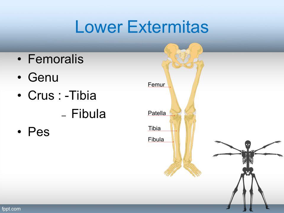 Lower Extermitas Femoralis Genu Crus : -Tibia Fibula Pes