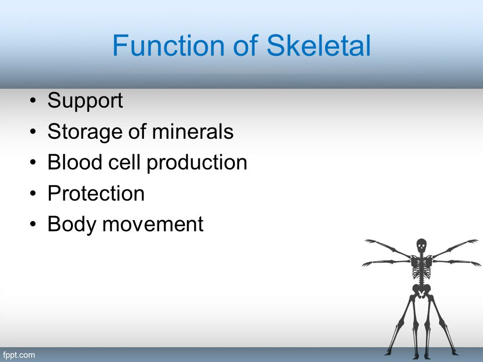 Function of Skeletal Support Storage of minerals Blood cell production