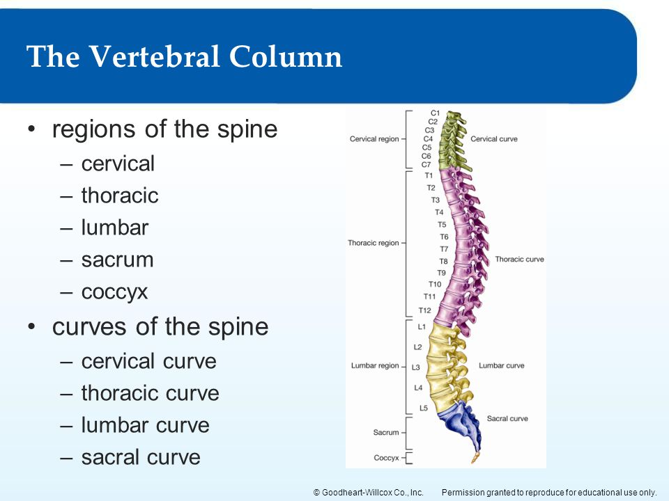The Vertebral Column regions of the spine curves of the spine cervical
