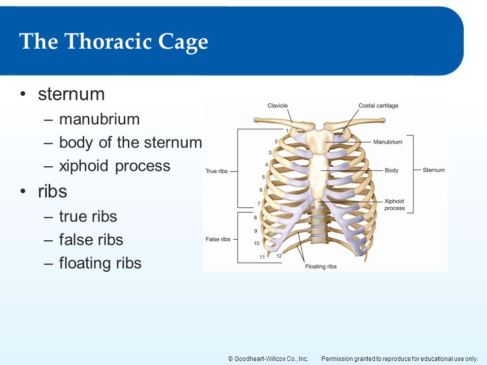 The Thoracic Cage sternum ribs manubrium body of the sternum