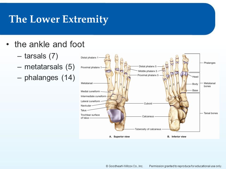 The Lower Extremity the ankle and foot tarsals (7) metatarsals (5)