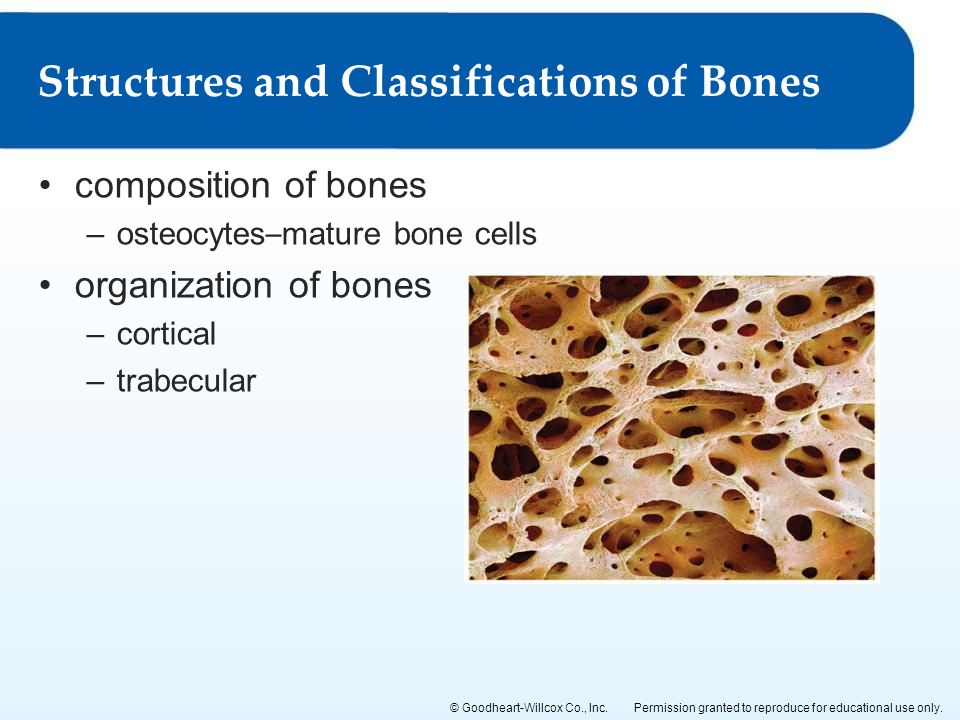 Structures and Classifications of Bones