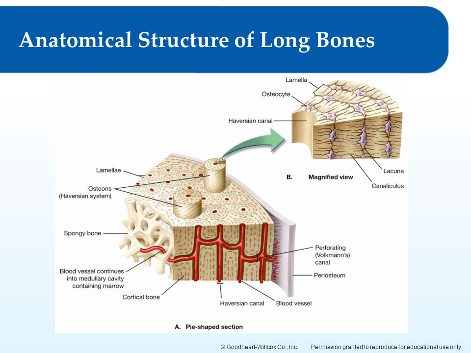 Anatomical Structure of Long Bones