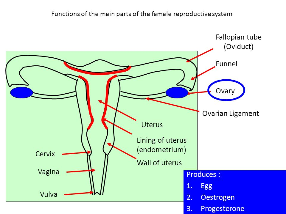 Human Sexual Reproductive System