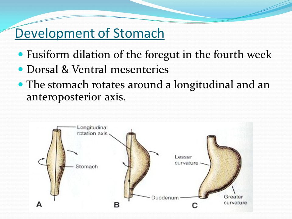 Development of Stomach