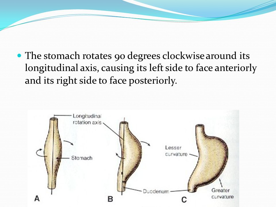 The stomach rotates 90 degrees clockwise around its longitudinal axis, causing its left side to face anteriorly and its right side to face posteriorly.