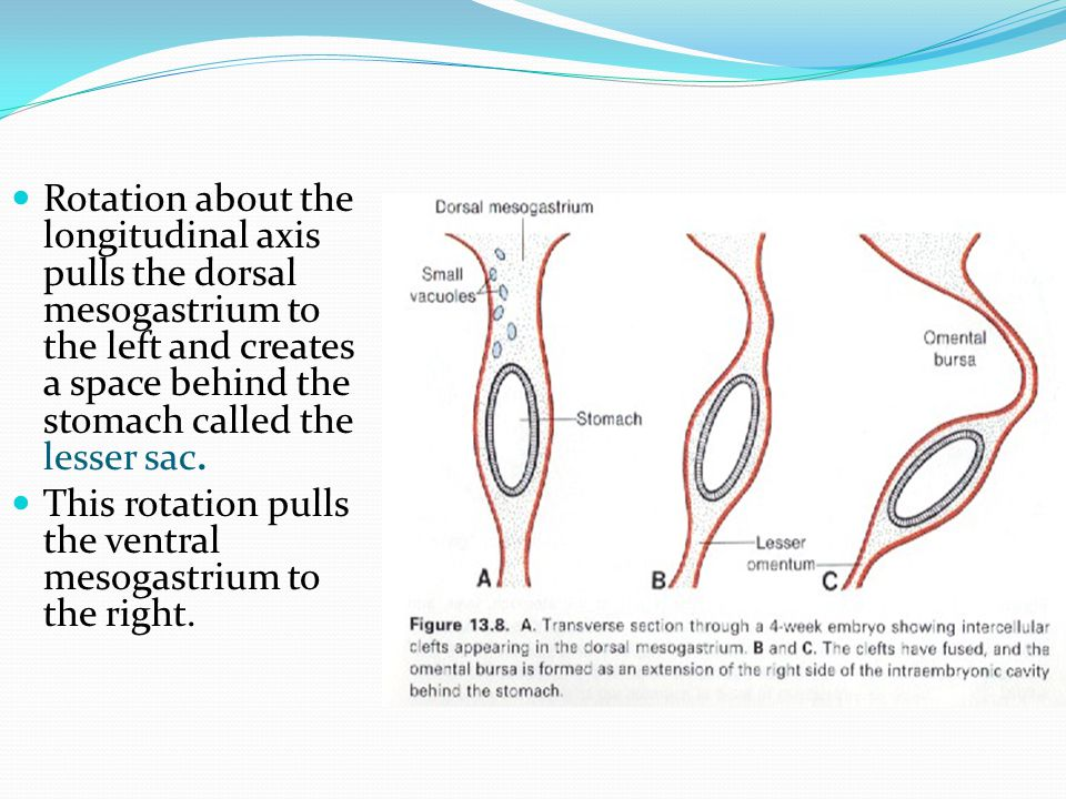 Rotation about the longitudinal axis pulls the dorsal mesogastrium to the left and creates a space behind the stomach called the lesser sac.