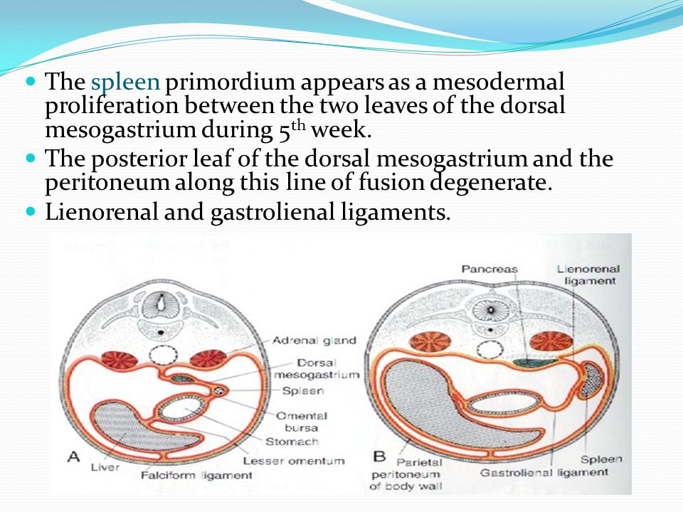 The spleen primordium appears as a mesodermal proliferation between the two leaves of the dorsal mesogastrium during 5th week.
