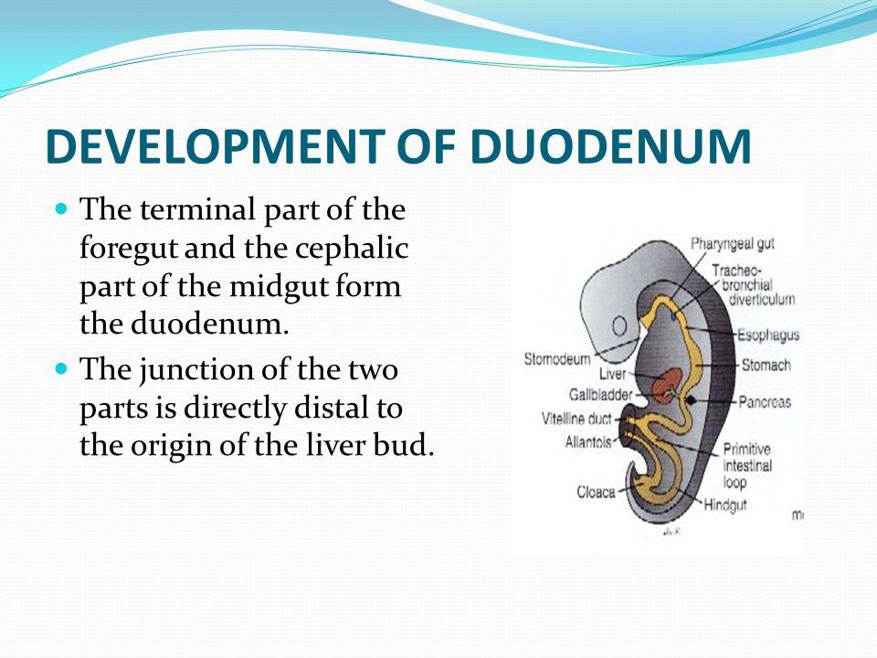 DEVELOPMENT OF DUODENUM