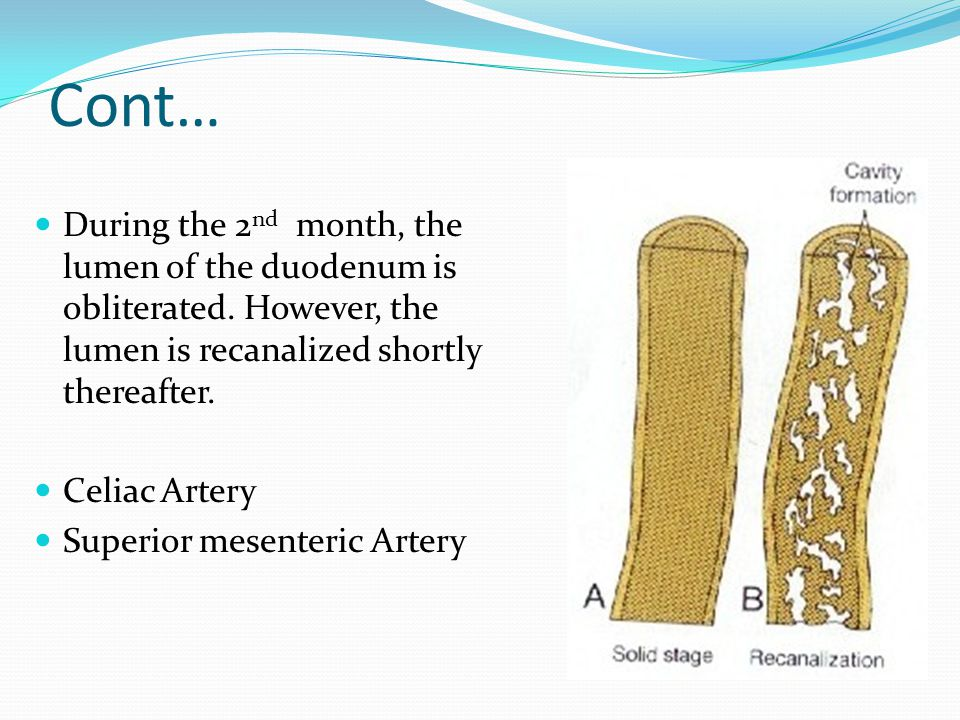 Cont… During the 2nd month, the lumen of the duodenum is obliterated. However, the lumen is recanalized shortly thereafter.
