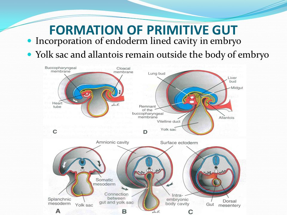 FORMATION OF PRIMITIVE GUT