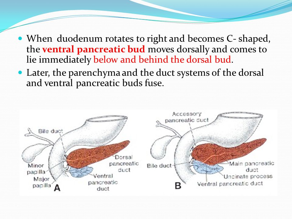 When duodenum rotates to right and becomes C- shaped, the ventral pancreatic bud moves dorsally and comes to lie immediately below and behind the dorsal bud.