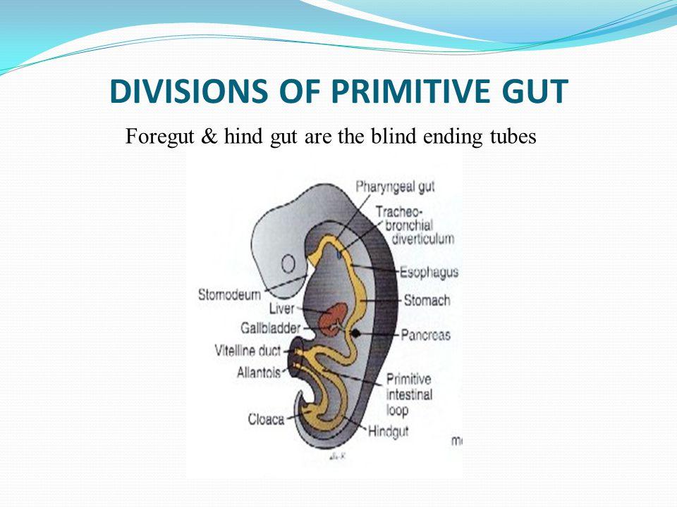 DIVISIONS OF PRIMITIVE GUT
