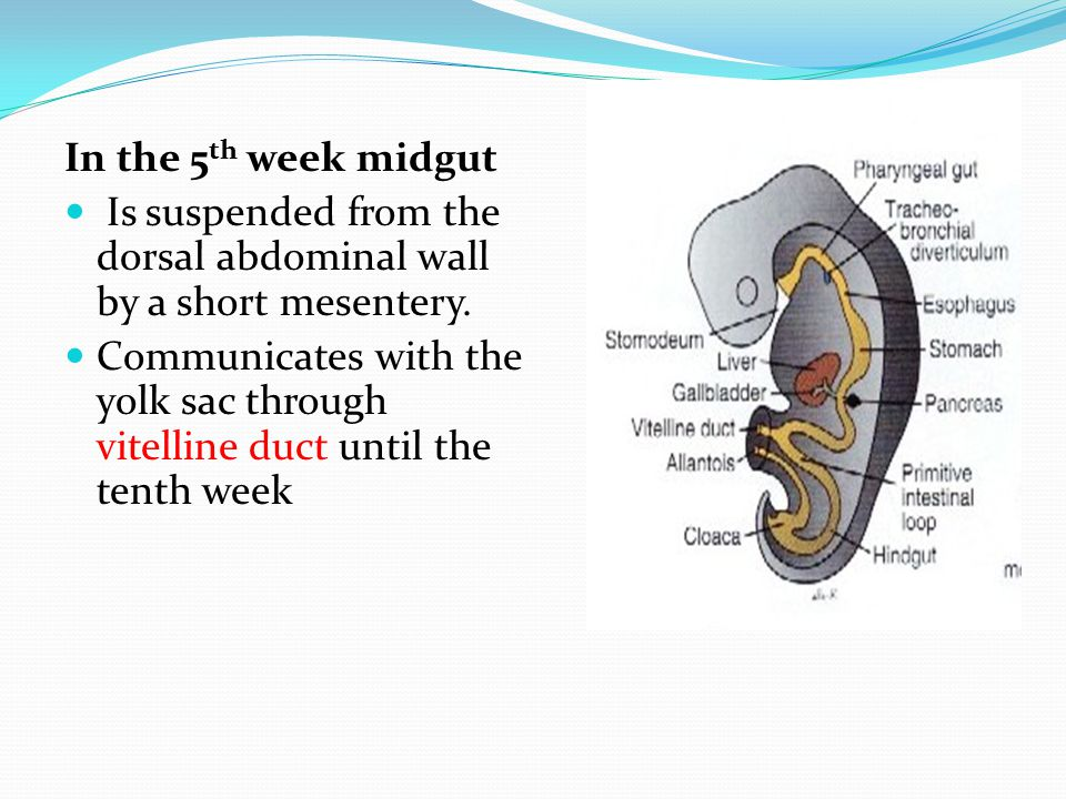 In the 5th week midgut Is suspended from the dorsal abdominal wall by a short mesentery.
