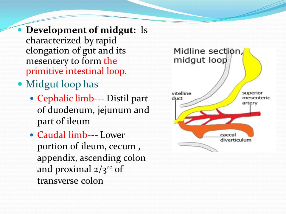 Development of midgut: Is characterized by rapid elongation of gut and its mesentery to form the primitive intestinal loop.