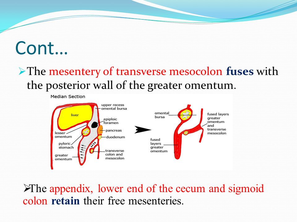 Cont… The mesentery of transverse mesocolon fuses with the posterior wall of the greater omentum.
