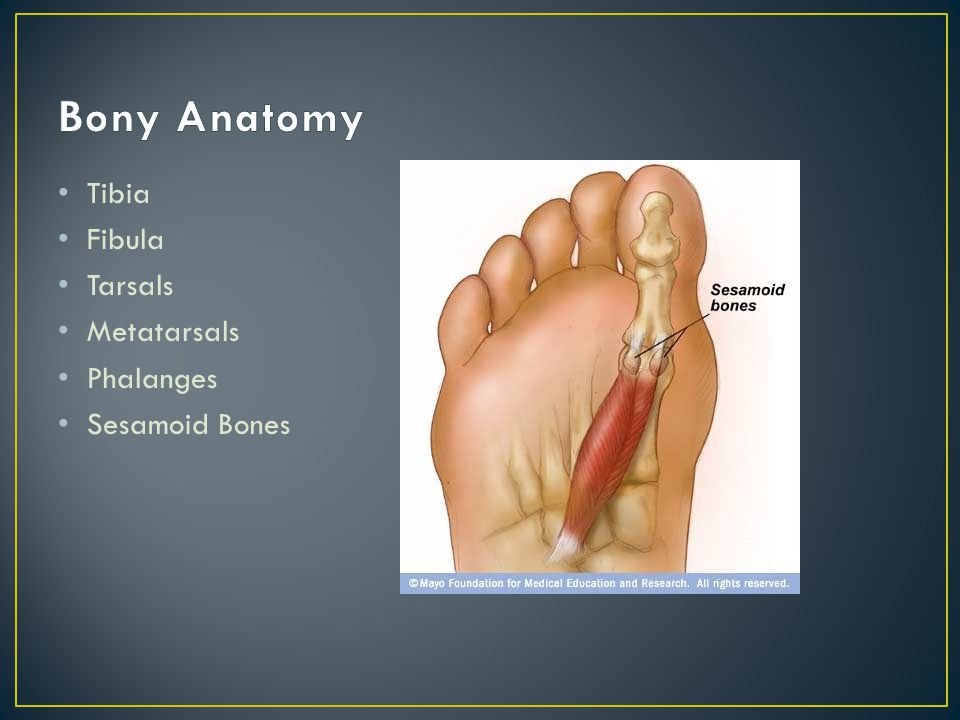 Bony Anatomy Tibia Fibula Tarsals Metatarsals Phalanges Sesamoid Bones
