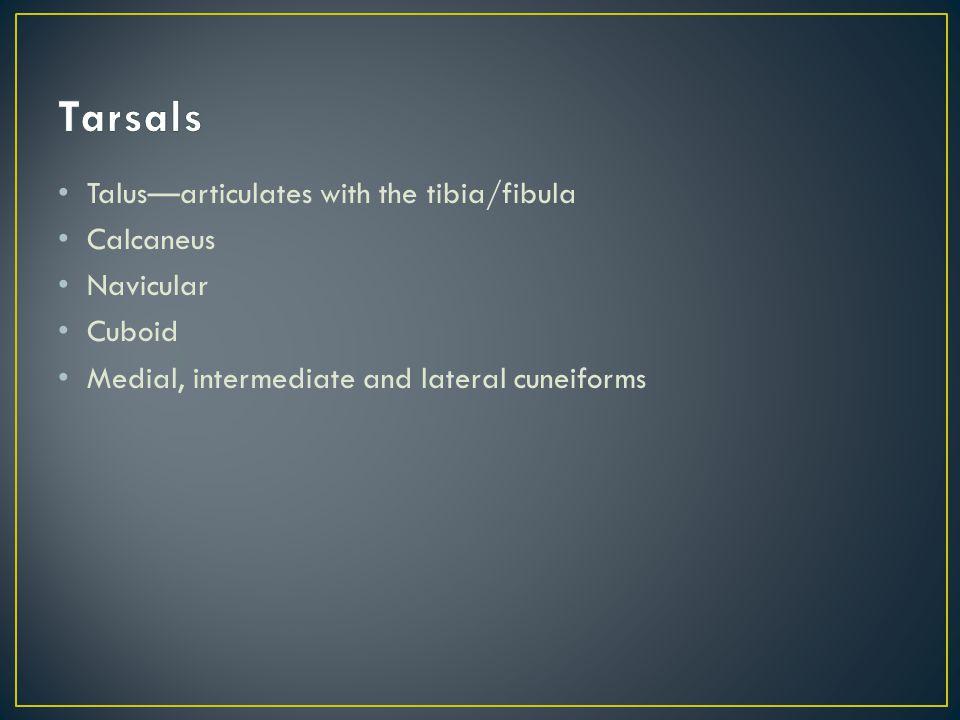 Tarsals Talus—articulates with the tibia/fibula Calcaneus Navicular