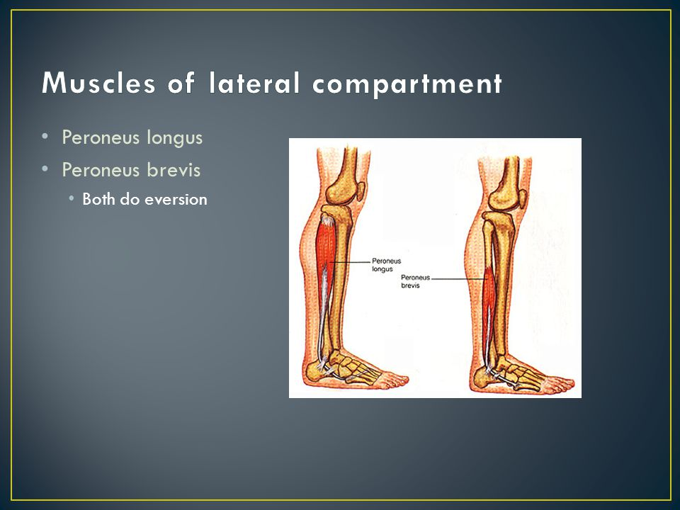 lateral compartment of leg - photo #40