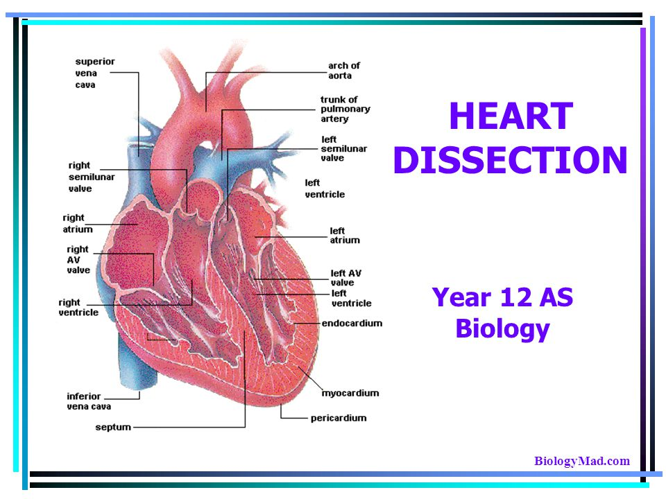 HEART DISSECTION Year 12 AS Biology BiologyMad.com