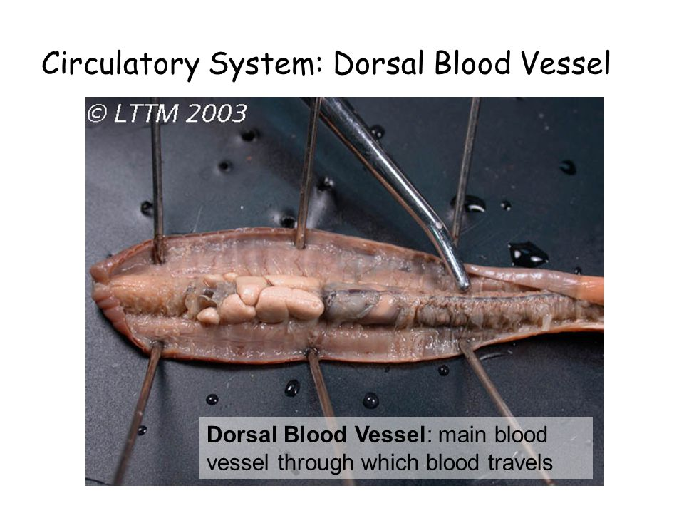 Circulatory System: Dorsal Blood Vessel