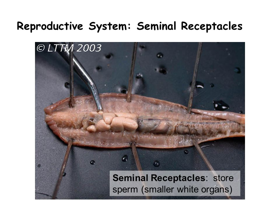 Reproductive System: Seminal Receptacles