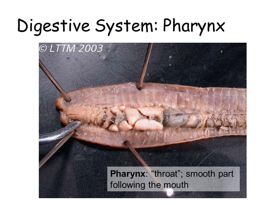 Digestive System: Pharynx
