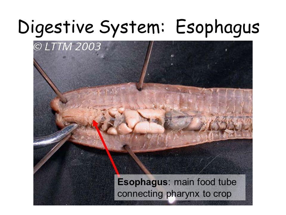 Digestive System: Esophagus