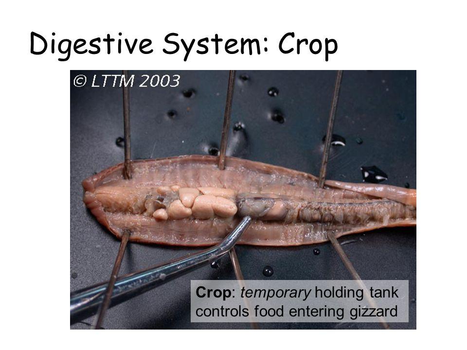 Digestive System: Crop