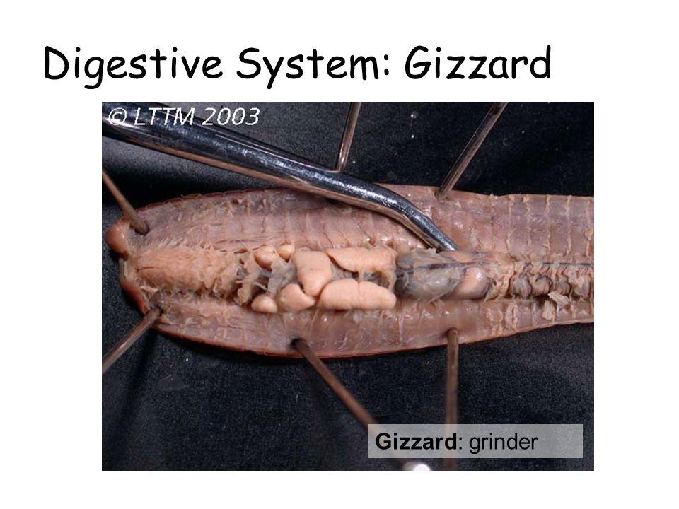 Digestive System: Gizzard