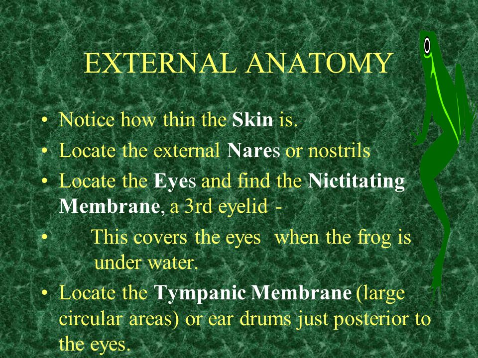 EXTERNAL ANATOMY Notice how thin the Skin is.