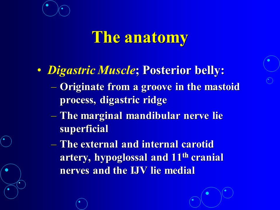 The anatomy Digastric Muscle; Posterior belly: