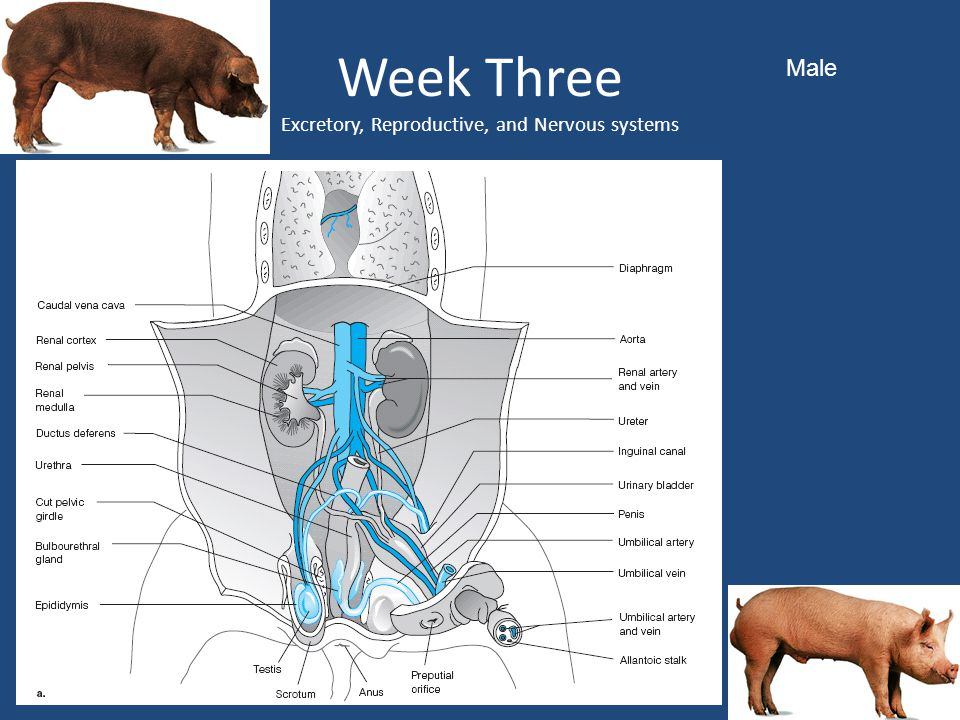 Week Three Excretory, Reproductive, and Nervous systems
