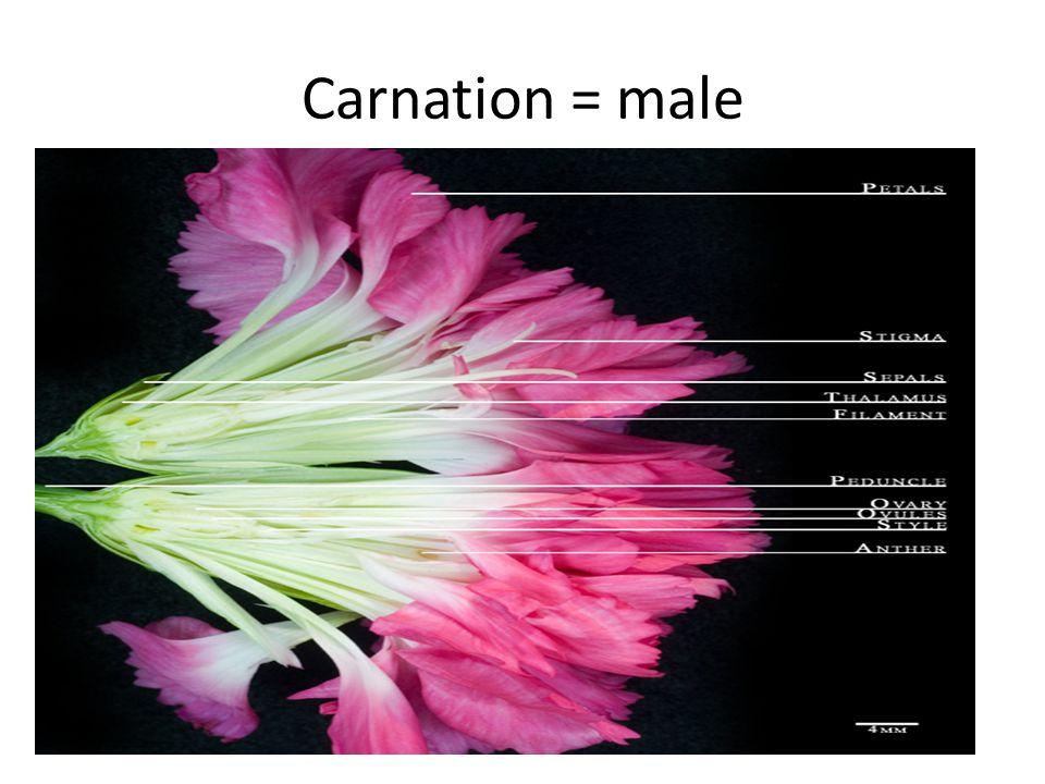 Carnation = male