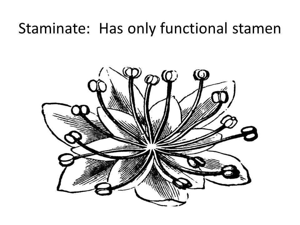 Staminate: Has only functional stamen
