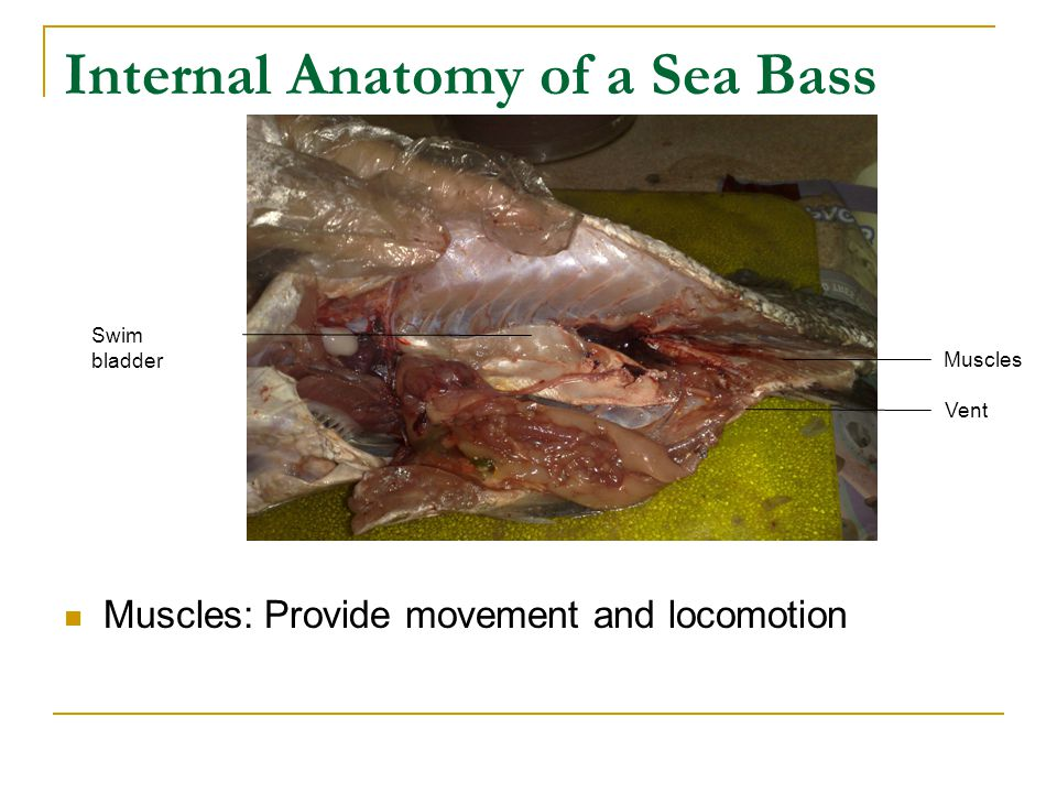Internal Anatomy of a Sea Bass