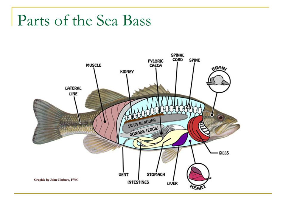 Parts of the Sea Bass