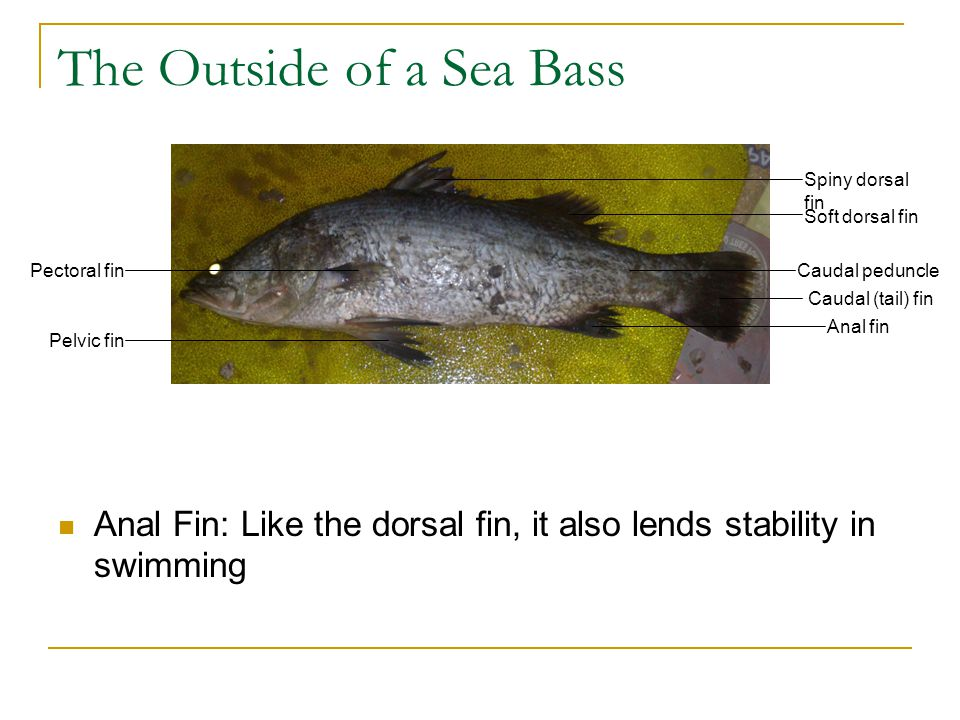 The Outside of a Sea Bass