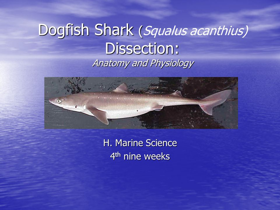 Dogfish Shark (Squalus acanthius) Dissection: Anatomy and Physiology