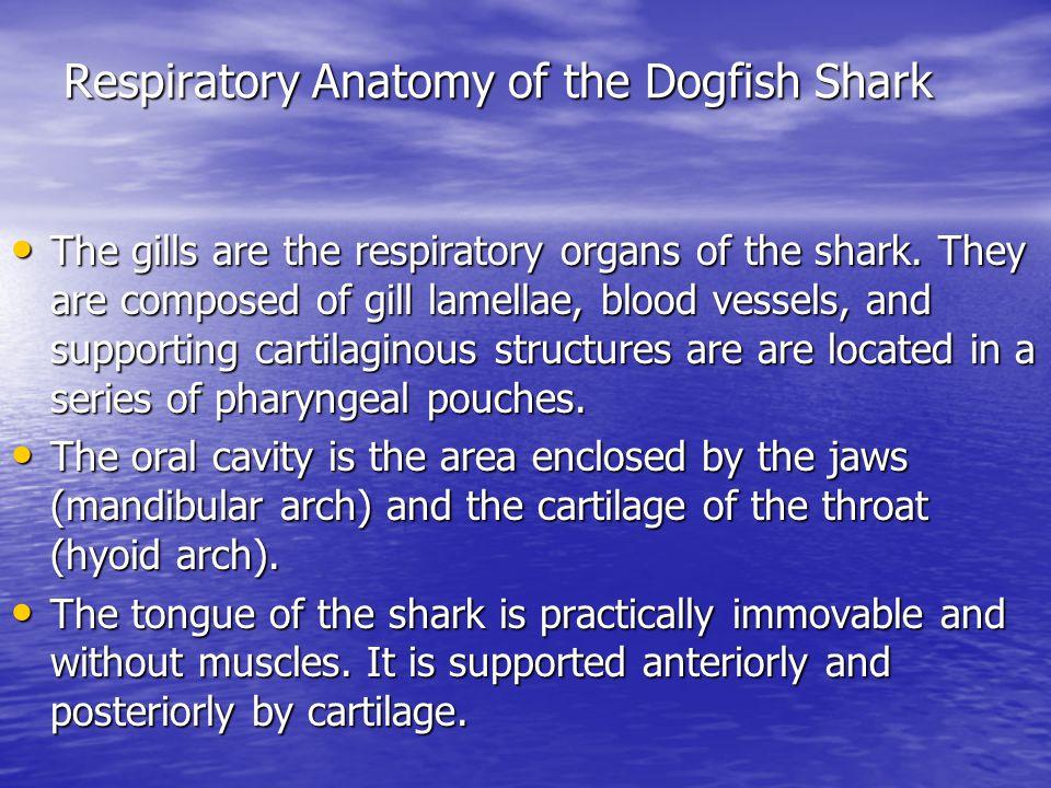 Respiratory Anatomy of the Dogfish Shark