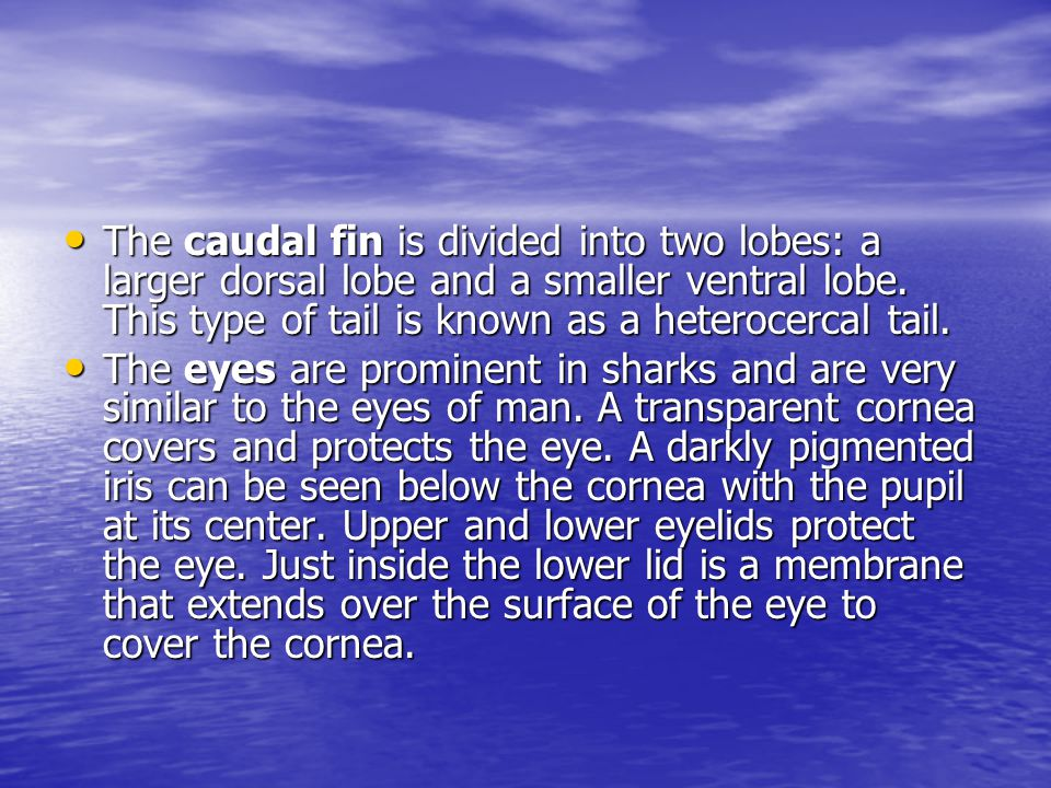The caudal fin is divided into two lobes: a larger dorsal lobe and a smaller ventral lobe. This type of tail is known as a heterocercal tail.