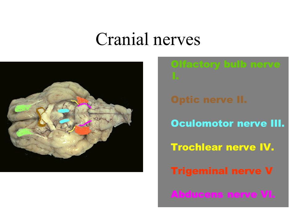 Cranial nerves Olfactory bulb nerve I. Optic nerve II.